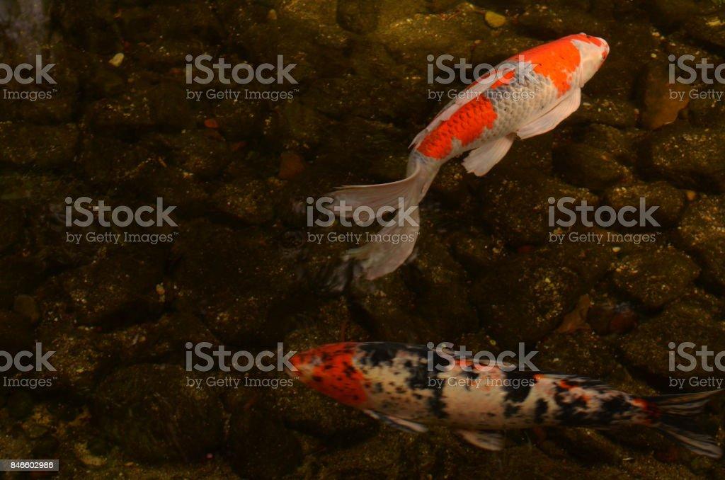 Koi fish swimming in pond stock photo