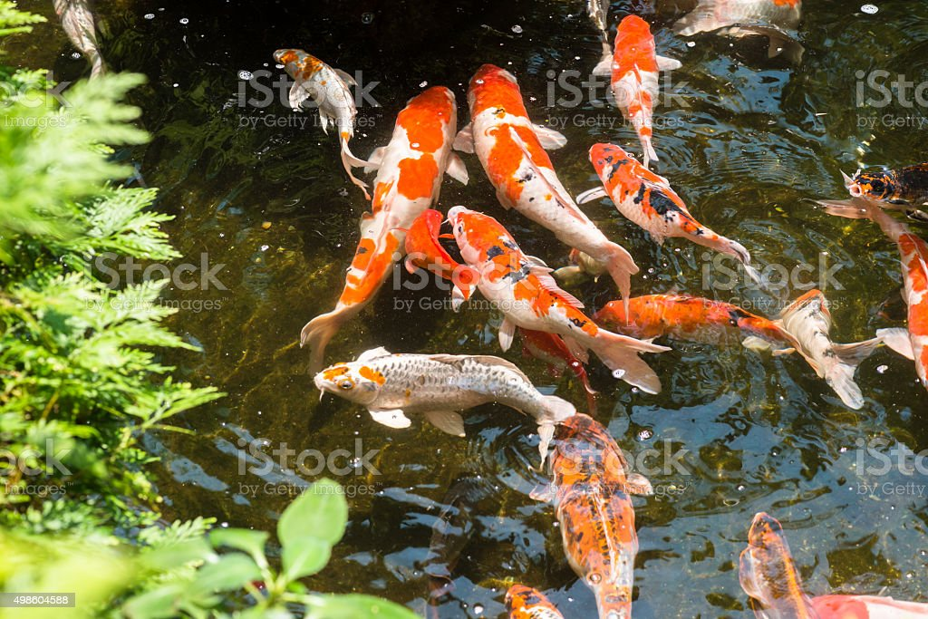 Koi fishes in a pond stock photo