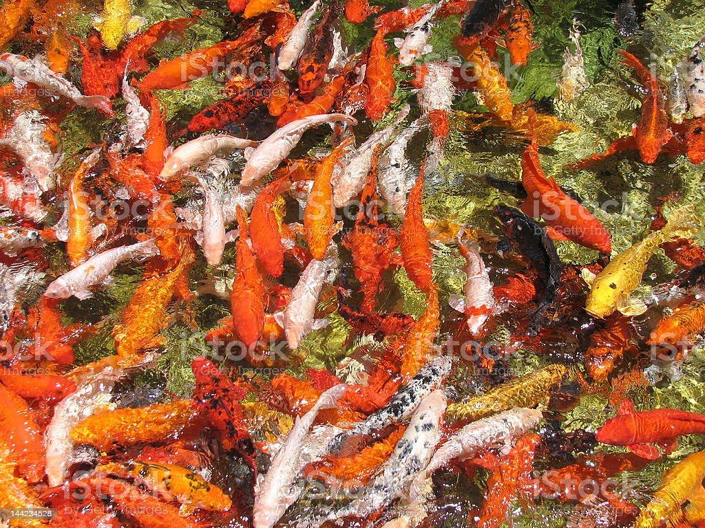 Koi Fishes stock photo