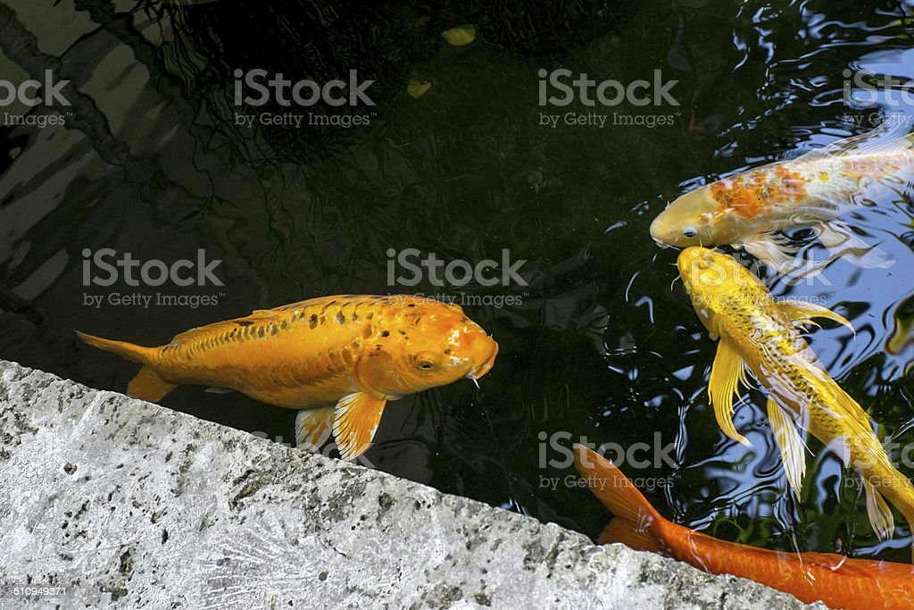 Koi In the Pond stock photo