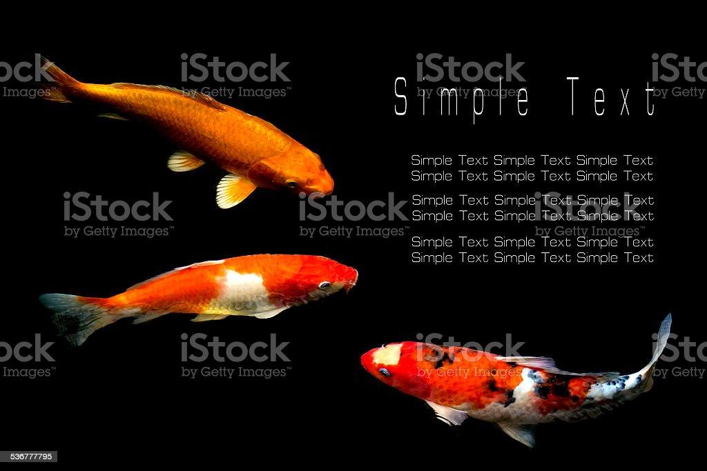 Koi or Japan Fancy Carp swim in pond.background is black stock photo