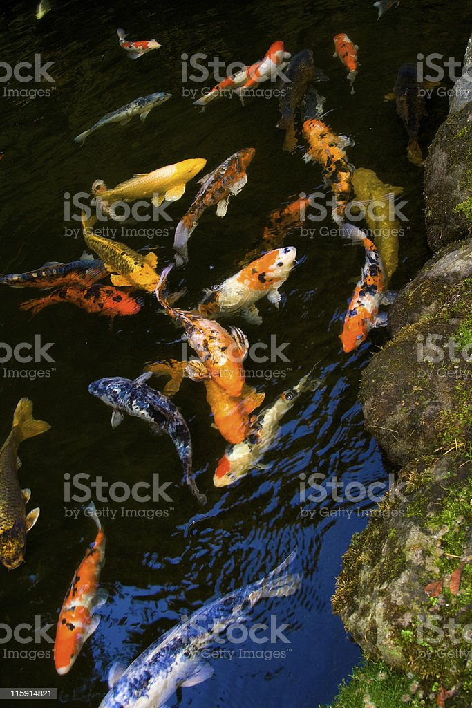 Koi royalty-free stock photo
