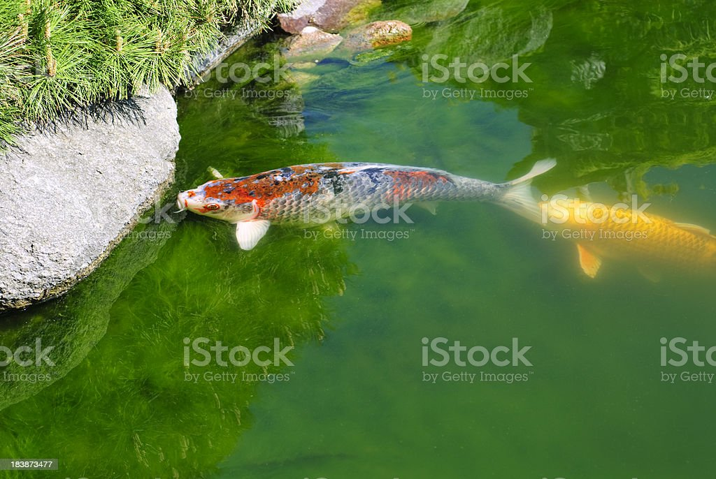 Koi stock photo