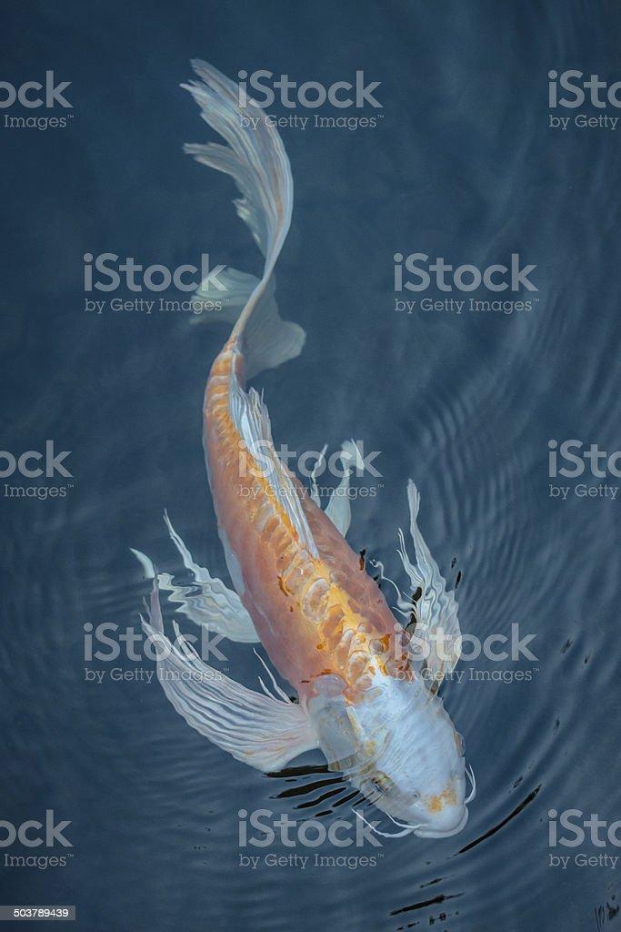 peces koi foto de stock
