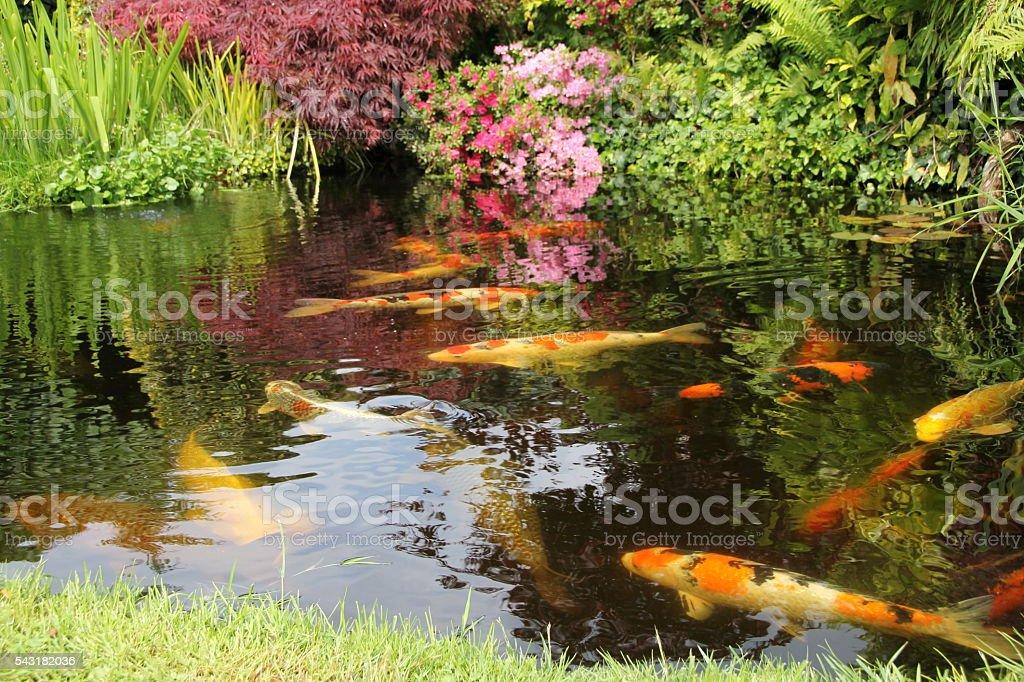 Koi Pond stock photo