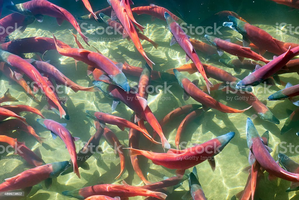 Kokanee Salmon (Oncorhynchus nerka) in its spawning colors, Utah stock photo