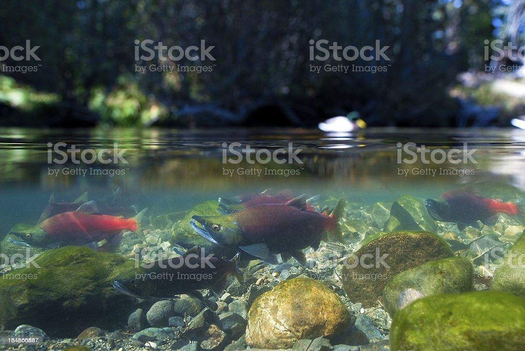 Kokanee Salmon Spawning stock photo