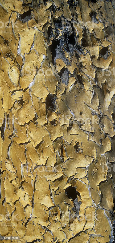 Kokerboom Abstract stock photo