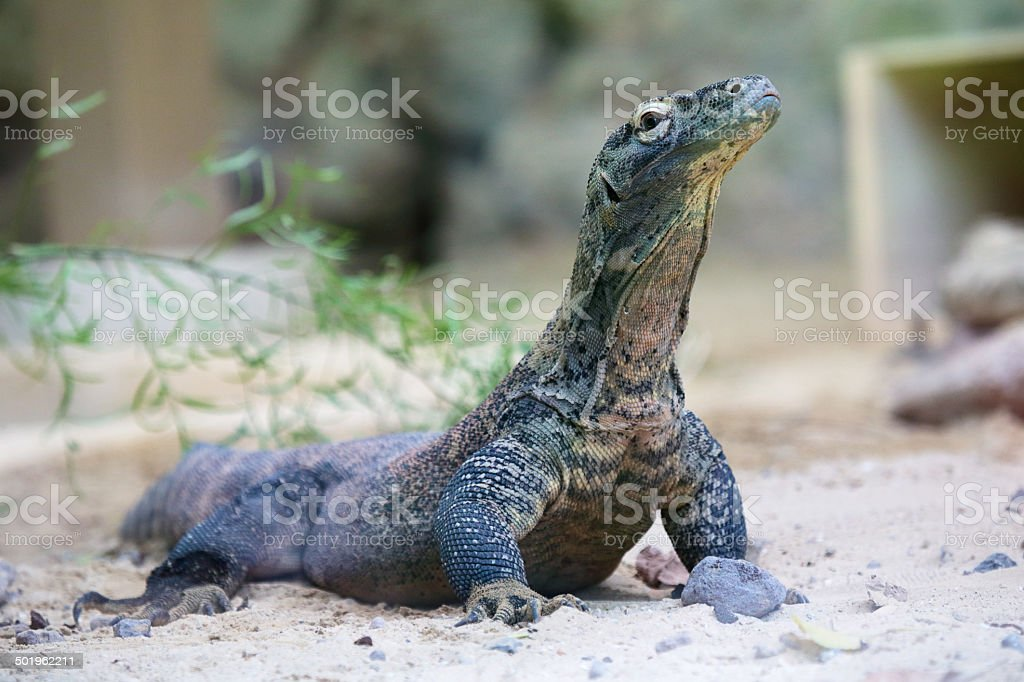 Komodo dragon at ground royalty-free stock photo