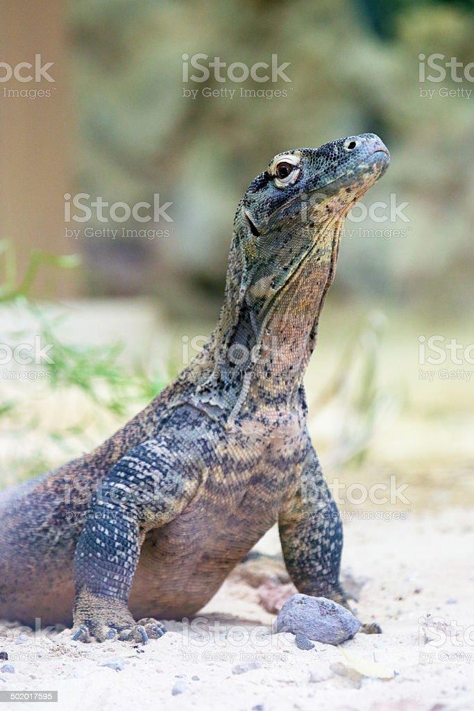 Komodo dragon at ground royalty-free stock photo