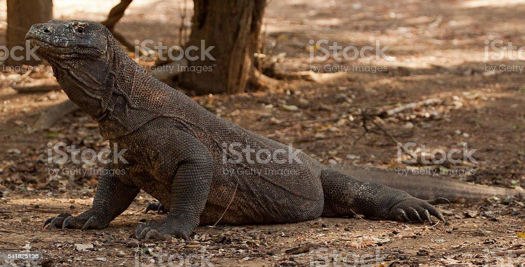 Komodo dragon biggest lizard at National Park. Indonesia. stock photo