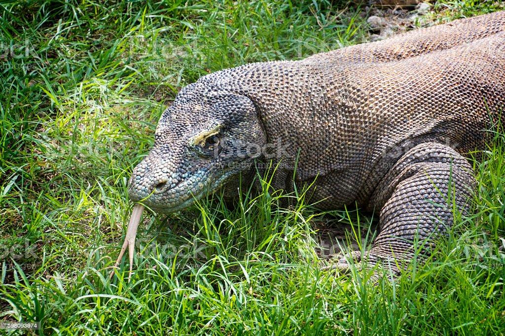 Komodo dragon (Varanus komodoensis) closeup stock photo