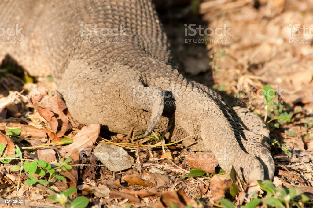Komodo Dragon foot and long curved claws, closeup. stock photo