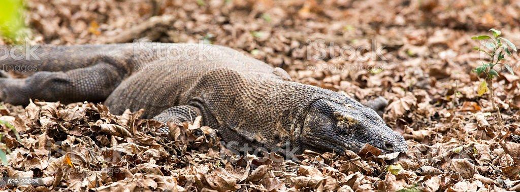 Komodo dragon in Komodo island stock photo