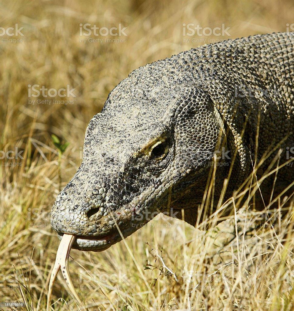 Komodo Dragon, Indonesia stock photo