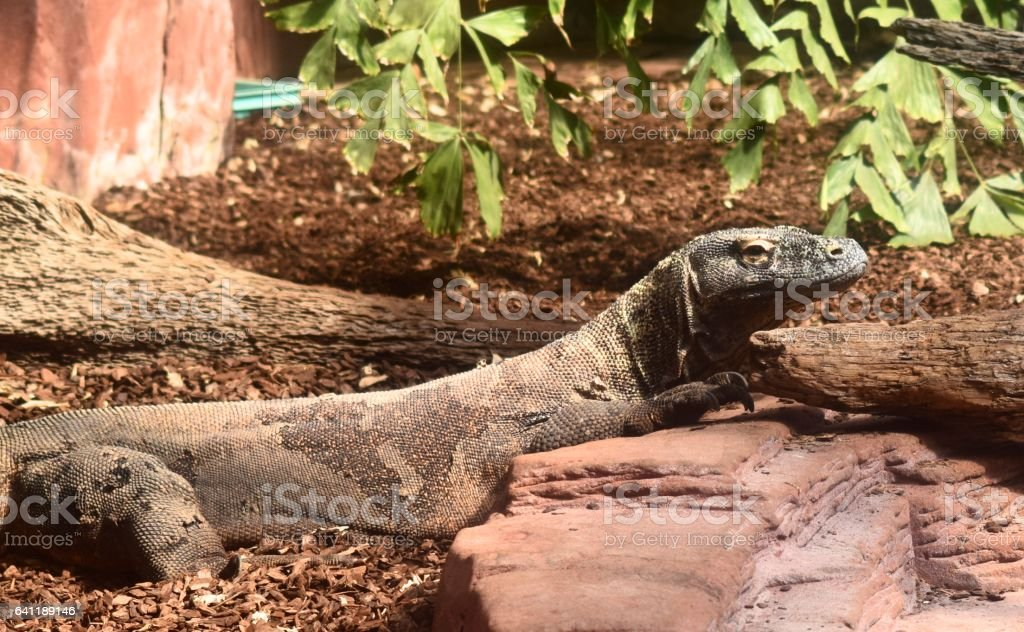komodo dragon large lizard in habitat side profile animal