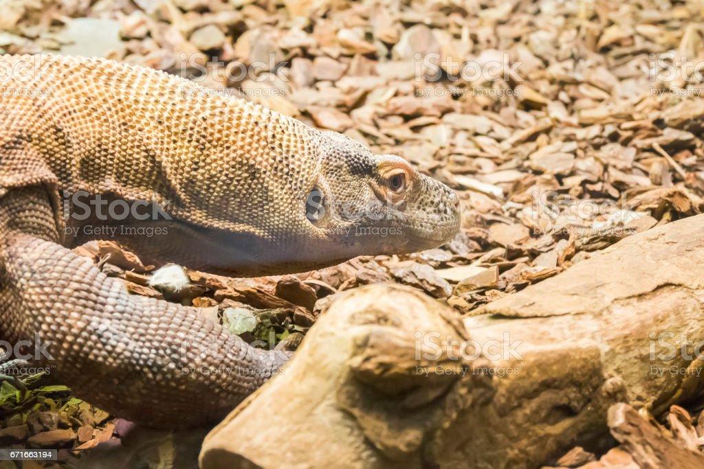 Komodo dragon looking closely something stock photo