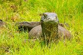 Komodo dragon lying in grass on Rinca Island