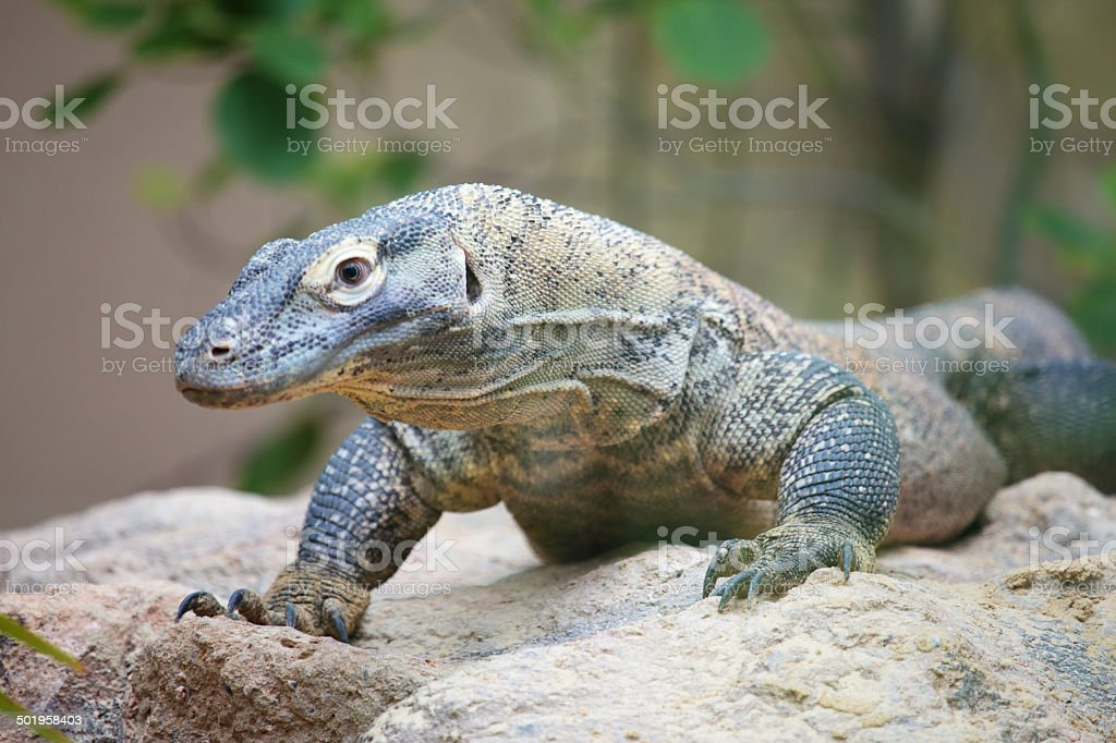 Komodo dragon on a rock royalty-free stock photo