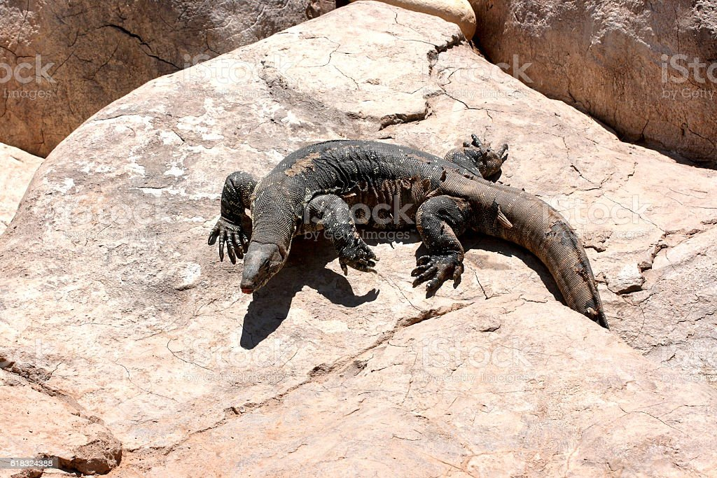 Komodo Dragon on a rock stock photo