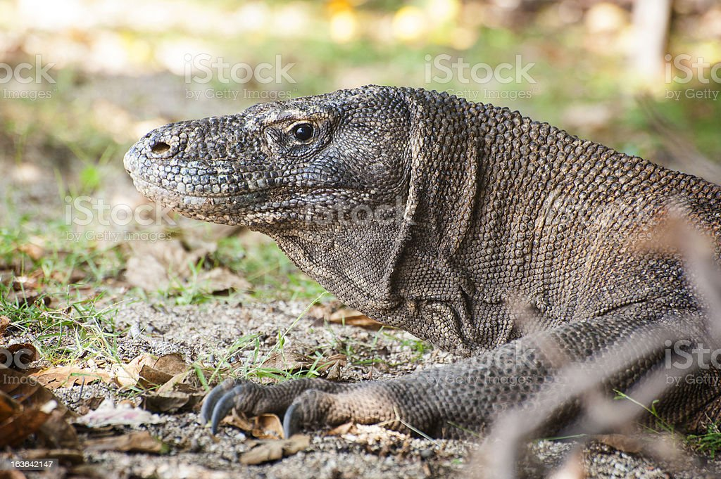 Komodo Dragon royalty-free stock photo