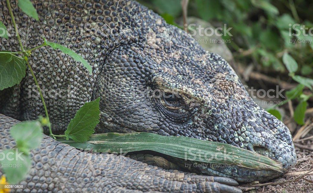Komodo Dragon (head) stock photo