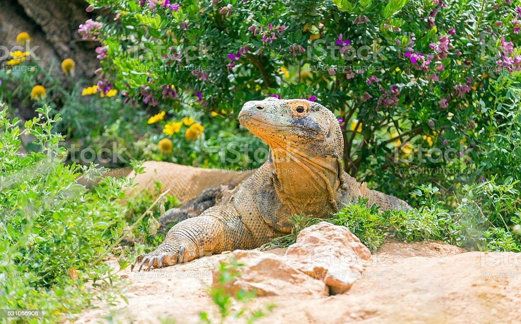 Komodo dragon (Varanus komodoensis) stock photo
