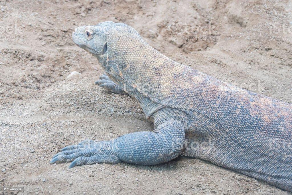 Komodo dragon resting on the sand stock photo