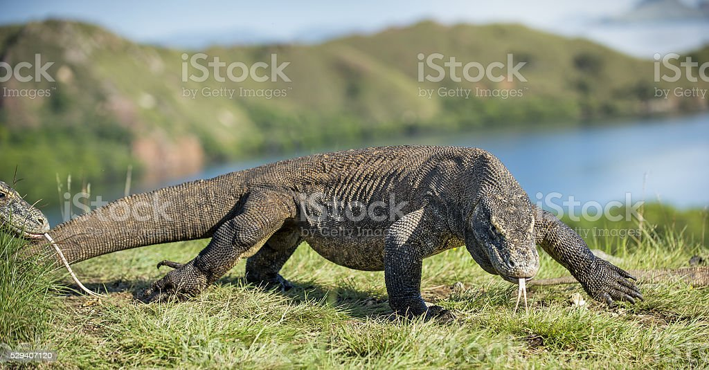 Komodo dragon swith the flicked out tongue. stock photo