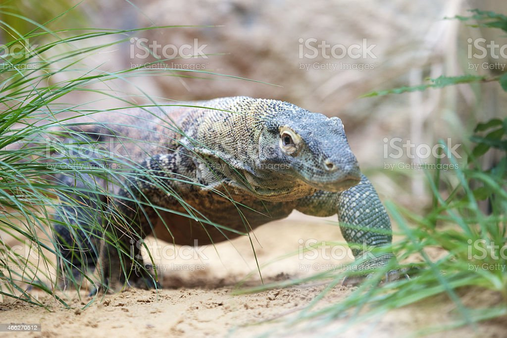 Komodo dragon walking royalty-free stock photo