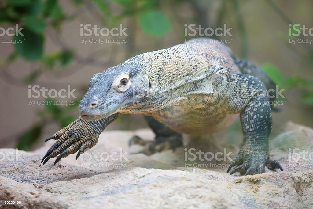 Komodo dragon walking royalty-free stock photo