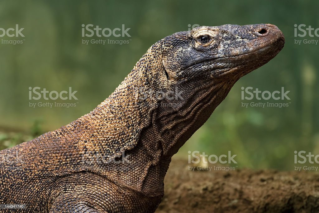 komodo dragon with blur background royalty-free stock photo