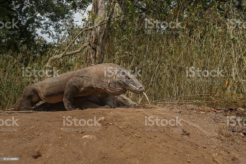 komodo dragons are mating on komodo island stock photo