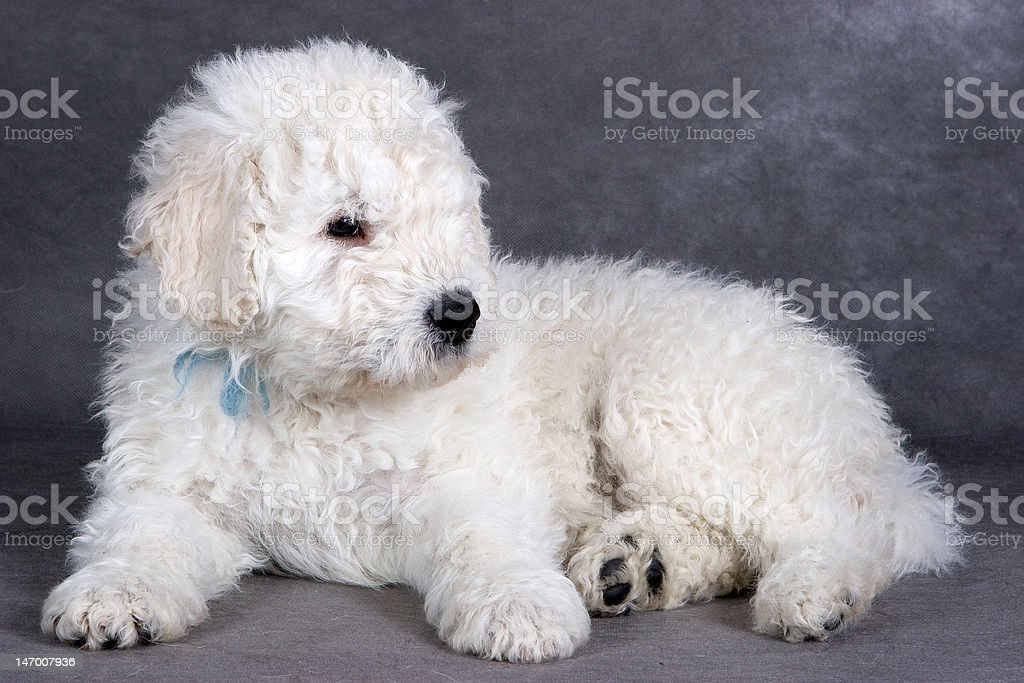 Komondor puppy on grey background royalty-free stock photo