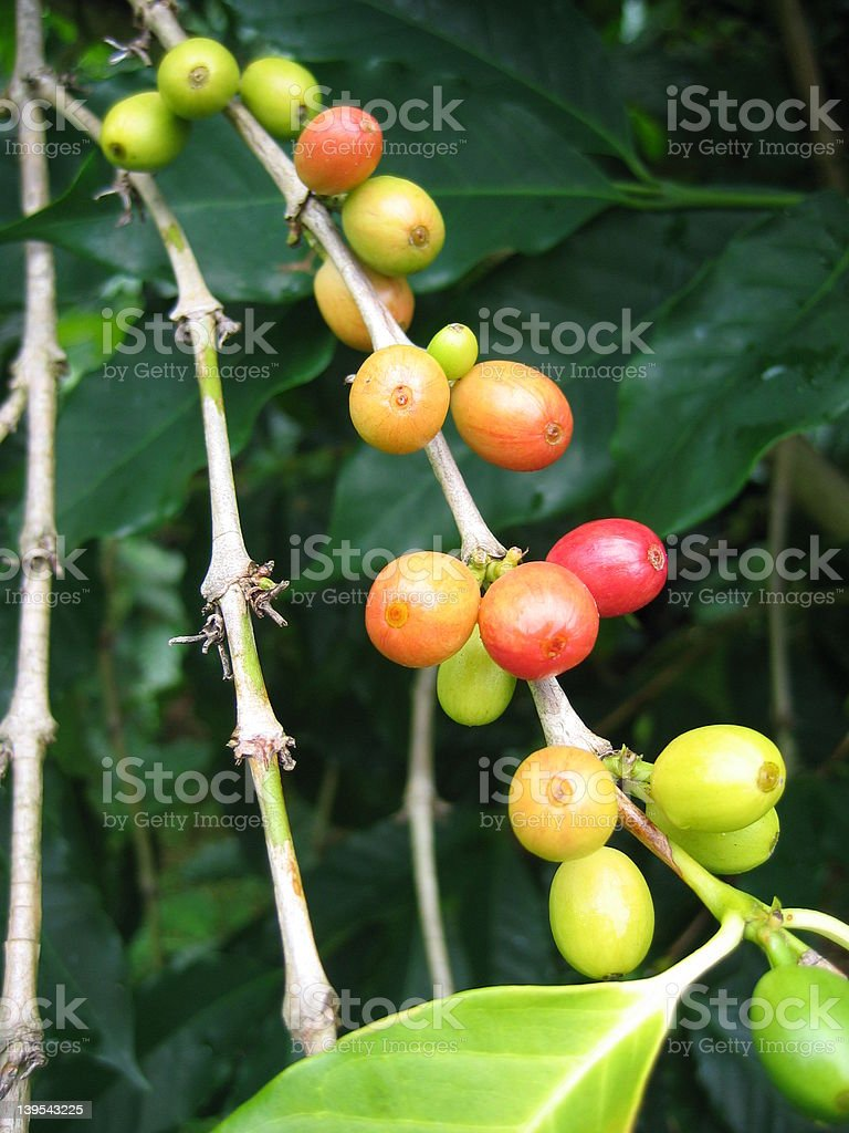 Kona Coffee Berries royalty-free stock photo