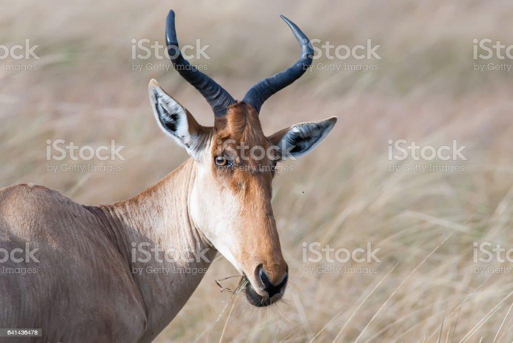 kongoni portrait, cows antelope on the African savannah stock photo