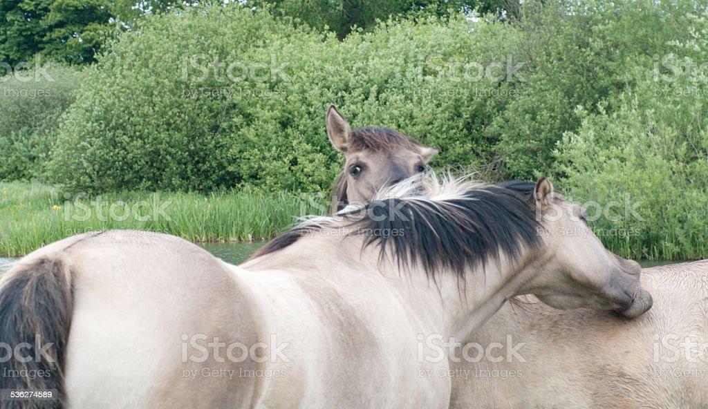 Konik Horses in Nature Reserve (Limburg, Netherlands) stock photo