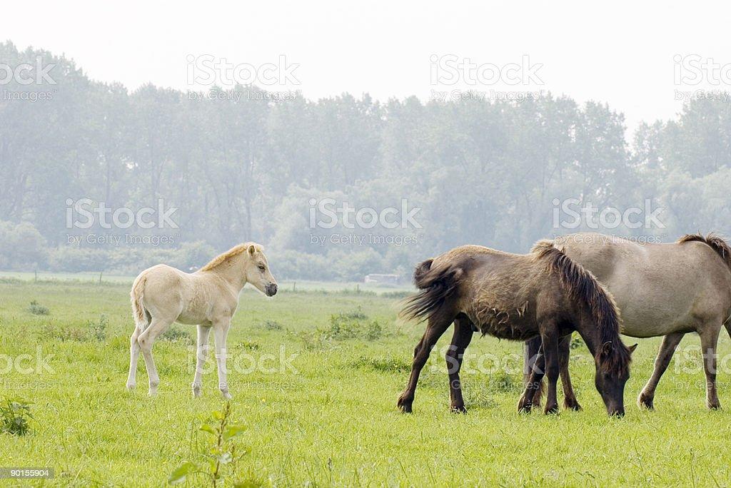 Konik Horses in the Millingerwaard (Netherlands) stock photo
