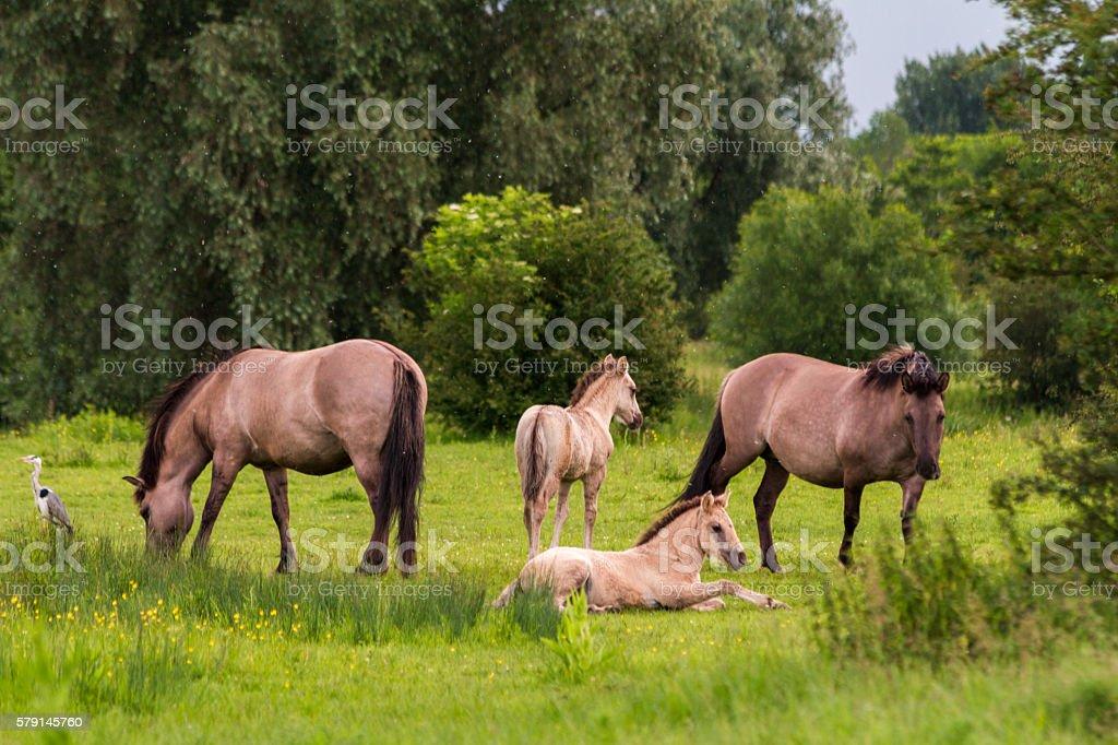 Konik Horses with Heron stock photo