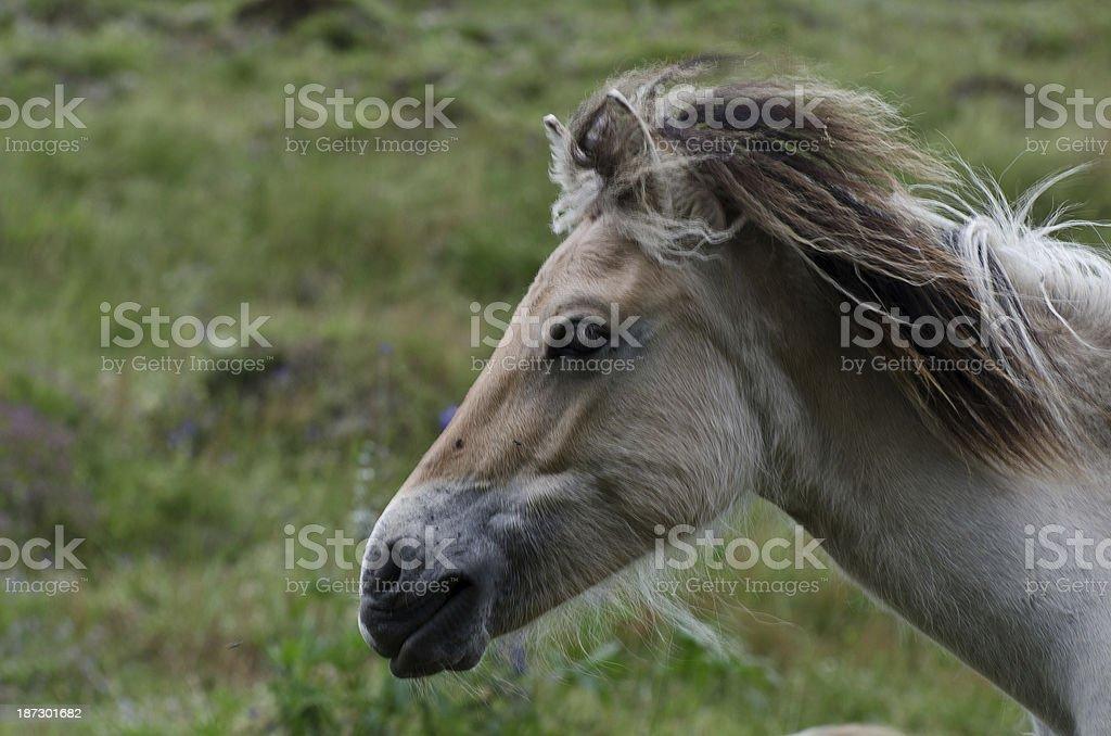 Konikpferd stock photo