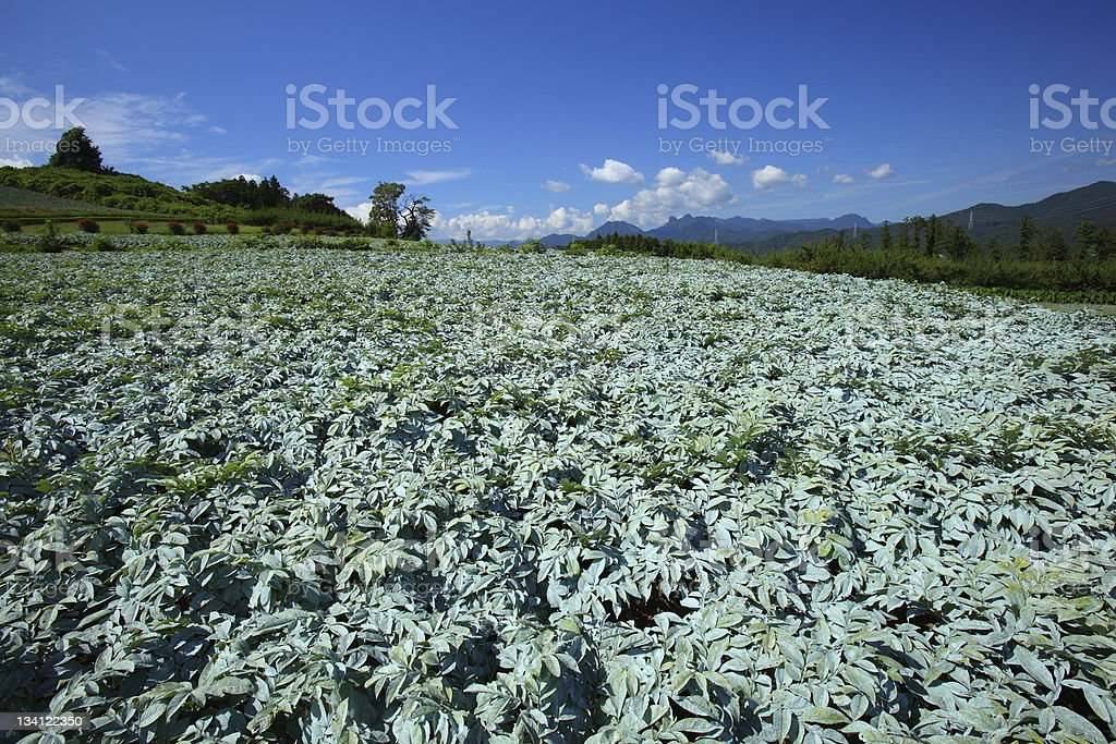 Konjac field royalty-free stock photo