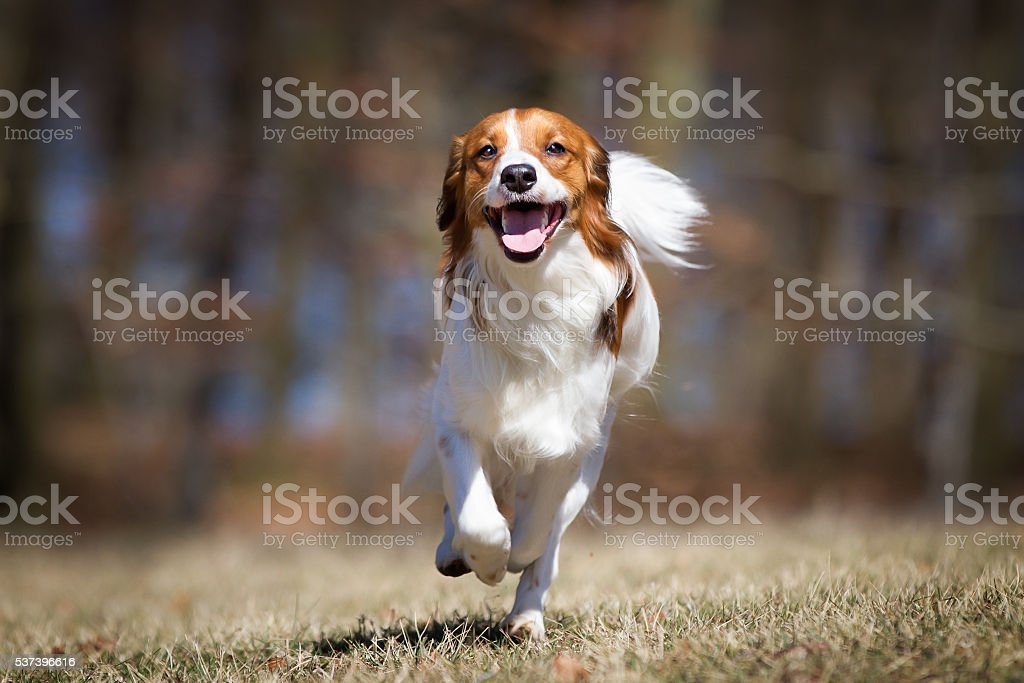 Kooikerhondje dog outdoors in nature stock photo
