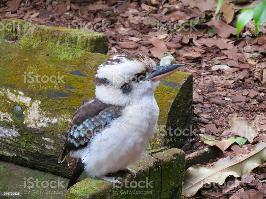 Kookaburra Australia stock photo