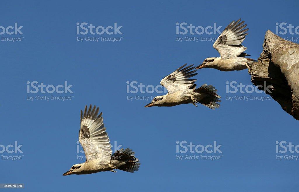 Kookaburra in Flight. Multiple Shots of single bird. stock photo
