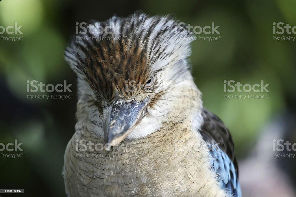 Kookaburra Kingfisher Bird stock photo