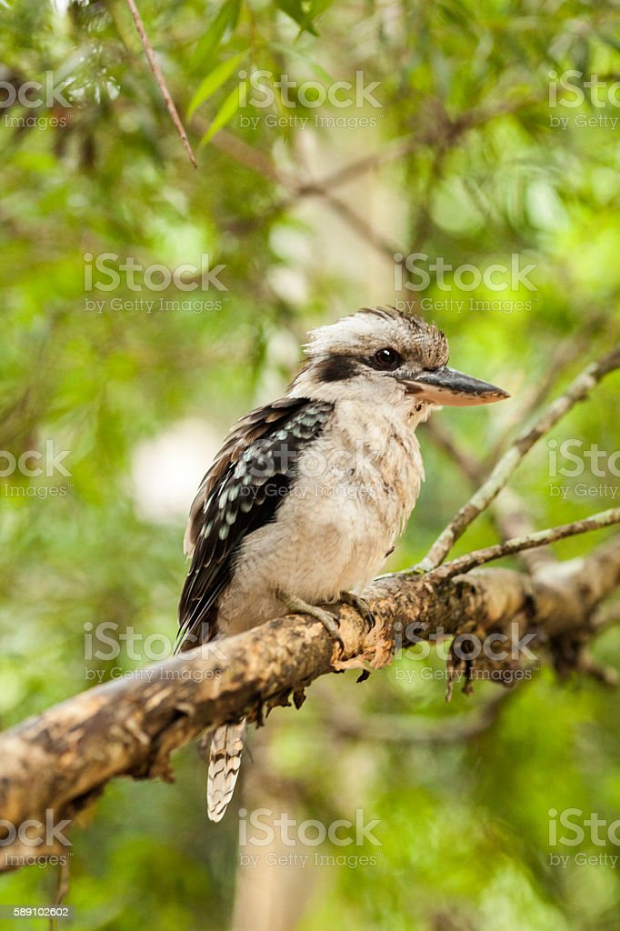 Kookaburra on a branch, Queensland, Australia stock photo