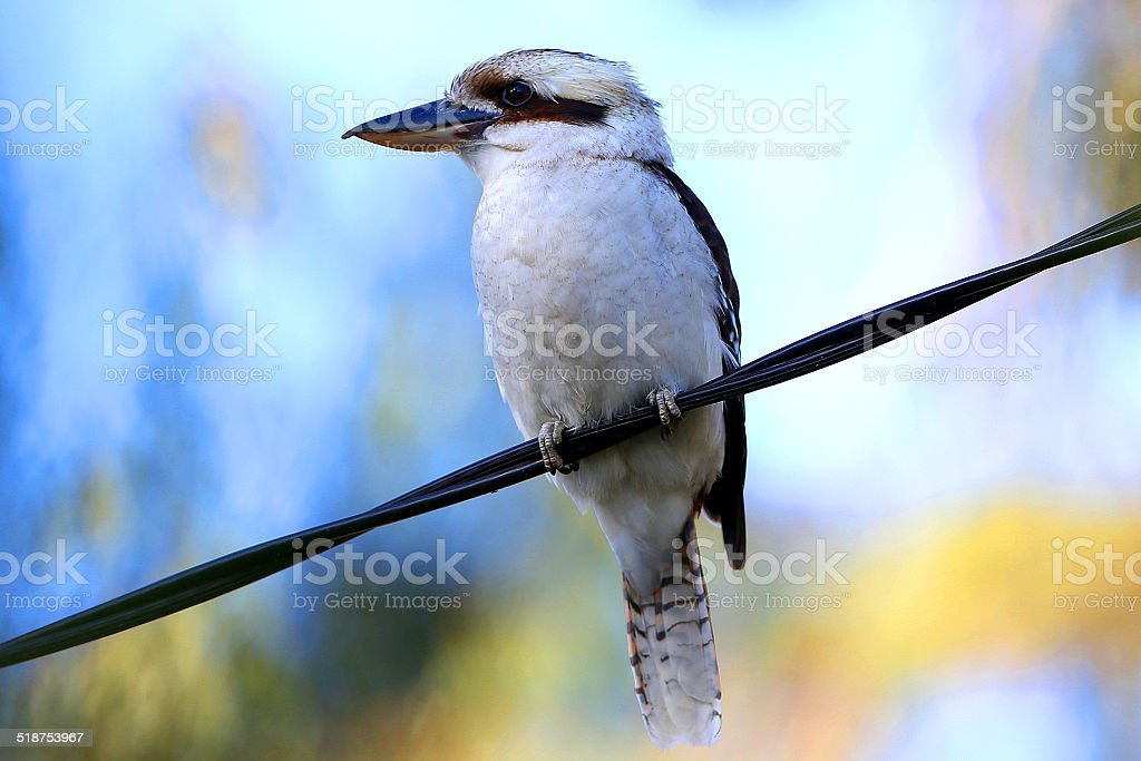 Kookaburra on a Wire stock photo