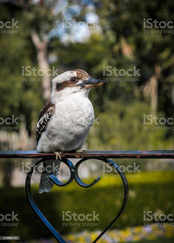 kookaburra on balustrade royalty-free stock photo
