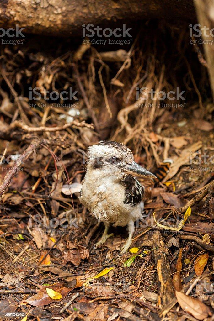 Kookaburra on the ground, Queensland, Australia stock photo