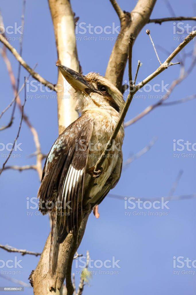 Kookaburra perching on a branch under blue sky stock photo